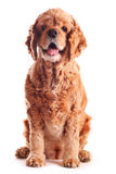 Dog american cocker spaniel, isolated Stock Images