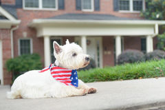 Dog in american flag scarf on driveway of luxury house. White terrier dog in american flag scarf waiting on driveway of luxury house Royalty Free Stock Images