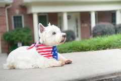 Dog in american flag scarf on driveway of luxury house. White terrier dog in american flag scarf waiting on driveway of luxury house Stock Images