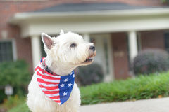 Dog in american flag scarf on driveway of luxury house. White terrier dog in american flag scarf waiting on driveway of luxury house Royalty Free Stock Photography
