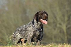 Dog- american short hair pointer Royalty Free Stock Photo