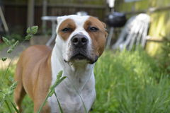 Dog. American Staffordshire bull terrier Royalty Free Stock Photos