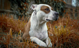 Dog. American Staffordshire bull terrier Royalty Free Stock Images