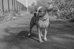 Dog. American Staffordshire bull terrier Royalty Free Stock Photography