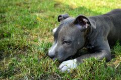 Dog american staffordshire terrier pitbull puppy amstaff