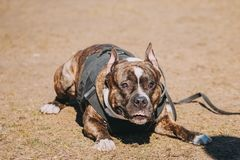 Dog American Staffordshire Terrier On Training. Dog American Staffordshire Terrier Sitting On Ground During Training Outdoor royalty free stock images
