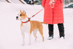 Dog American Staffordshire Terrier Standing In Snow Near Woman Feet Royalty Free Stock Images