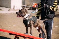 Dog American Staffordshire Terrier On Training Outdoor Royalty Free Stock Photo