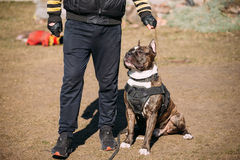 Dog American Staffordshire Terrier On Training Outdoor Stock Photography
