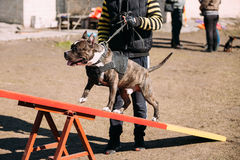 Dog American Staffordshire Terrier On Training Outdoor Royalty Free Stock Image