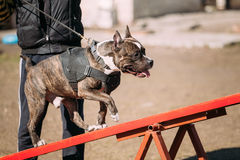 Dog American Staffordshire Terrier On Training Outdoor Stock Images
