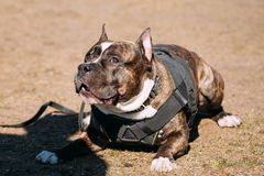 Dog American Staffordshire Terrier On Training Stock Photos