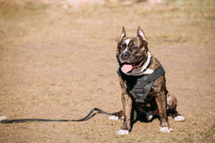 Dog American Staffordshire Terrier On Training Outdoor Royalty Free Stock Images