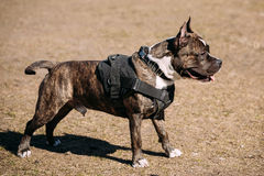 Dog American Staffordshire Terrier on Training Outdoor Stock Photo