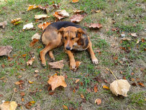Dog amongst autumn leaves. A sad stray dog on the grass among autumn leaves Royalty Free Stock Images