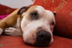 Dog American Staffordshire Terrier. Sad dog lying on the couch American Staffordshire Terrier royalty free stock image