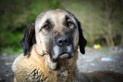 Dog. Anatolian shepherd dog, Turkey Royalty Free Stock Photo
