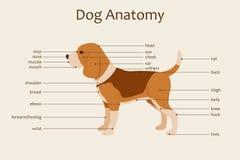 Dog anatomy. Veterinary illustration. Body parts names. Study guide. Vector. Horizontal orientation Royalty Free Stock Photography