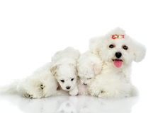 Dog And Her Puppies. Royalty Free Stock Photo