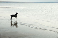 Free Dog And Sea Royalty Free Stock Images - 6554409