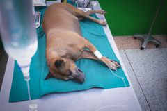 The dog anesthesia lying and drip on the bed, waiting for hysterotomy from a veterinarian. stock photo