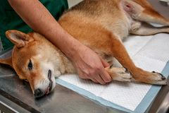 Dog anesthesia with veterinary treatment. Sick Shiba inu in the veterinary clinic. Anesthetic Shiba inu dog laying on the. Operating table. Veterinarian surgery stock photo