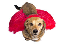 Dog angel. Little dachshund wearing an angel costume Royalty Free Stock Photos