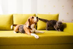 Dog and angry cat. The dog is lying on the couch and the cat becomes wild Stock Images