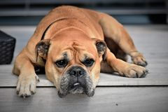 Dog, Animal, Continental Bulldog Royalty Free Stock Photo
