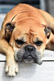 Dog, Animal, Continental Bulldog Stock Photography