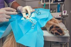 Dog in the animal hospital. Veterinarian during surgery of the golden retriever Stock Images