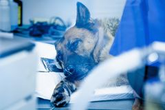 Dog in the animal hospital. German shepherd lying on the operating room before surgery. (Health, animal, hospital, treatment, med. Dog in the animal hospital stock image
