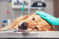 Dog in the animal hospital. Golden retriever lying on the operating room before surgery Royalty Free Stock Photos