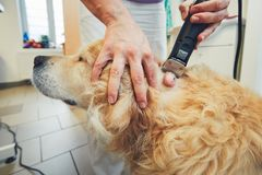 Dog in the animal hospital. Golden retriever in the animal hospital. Veterinarian preparing the dog for surgery Stock Photos