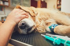 Dog in the animal hospital. Golden retriever in the animal hospital. Veterinarian preparing the dog for surgery Royalty Free Stock Photo