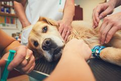 Dog in the animal hospital. Golden retriever in the animal hospital. Veterinarians preparing the dog for surgery stock image