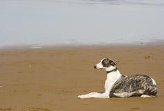 Dog animal pet. Greyhound posing in the beach Stock Photo