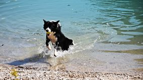 Happy doggie in the water. Dog, animal, pet, collie, beach, black, border collie, canine, white, water, nature, border, mammal, sea, runs, puppies, pretty, snow Royalty Free Stock Photo