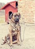 Dog at animal shelter. Big dog tied to the chain at animal shelter Stock Images