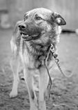 Dog at animal shelter. Big dog tied to the chain at animal shelter stock image