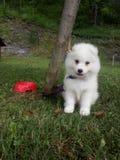 dog, animal, Siberian self, white dog, puppy, little dog, plush dog royalty free stock photo