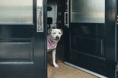 Dog answers the front door. A pit bull dog waits at the front door, as if asking `what do you want royalty free stock images
