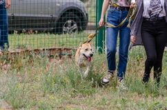 The dog, in anticipation of interesting things at the training site, is walking on a short leash next to its owners. royalty free stock photo