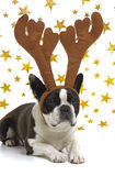 Dog with antlers at christmas Stock Image