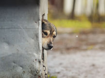 Dog anxiously looks out of the booth and looking right. Funny dog anxiously looks out of the booth and looking right Royalty Free Stock Image