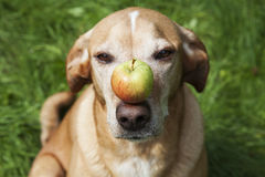 Dog with an apple on its nose. Royalty Free Stock Image