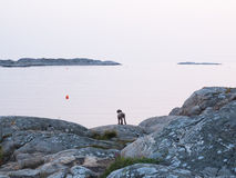 Dog in archipelago Stock Photography