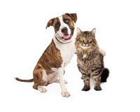 Dog Arm Around Tabby Cat Royalty Free Stock Image