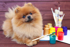Dog artist. Beautiful pomeranian dog with paints and brushed on wooden background. Clever spitz Stock Images