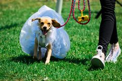 Dog as bride in wedding dress stock photography
